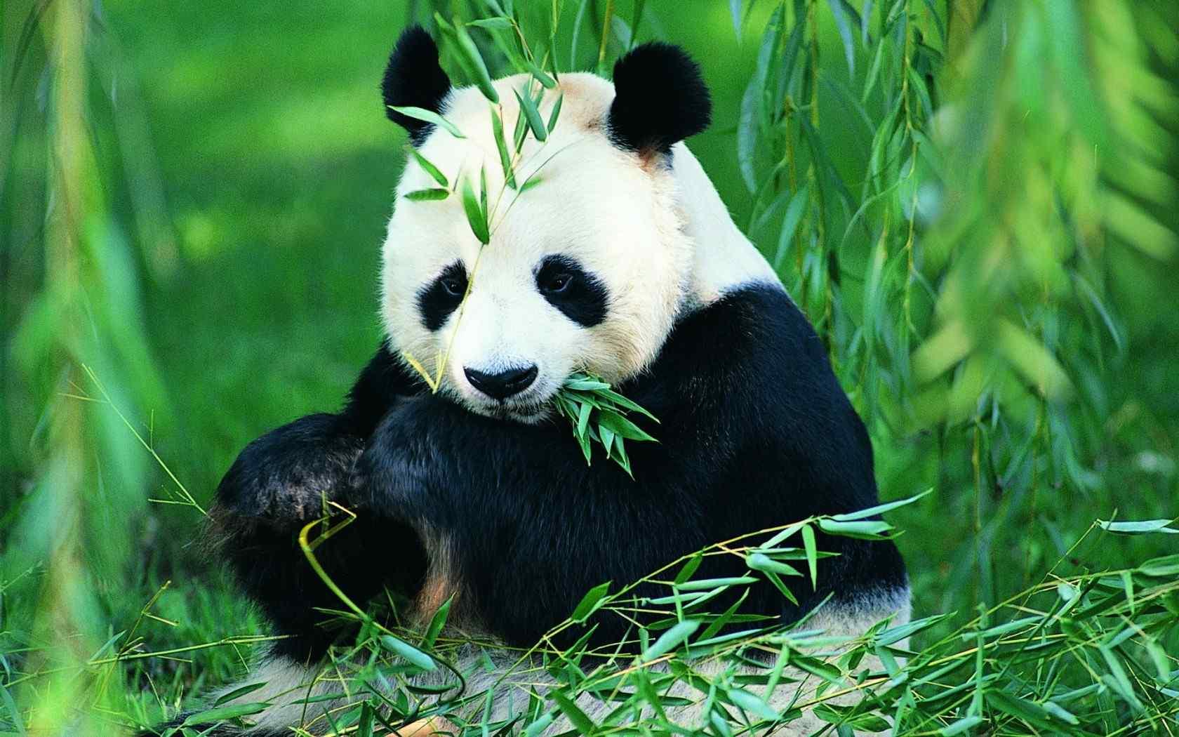 大熊猫吃竹子卖萌图片