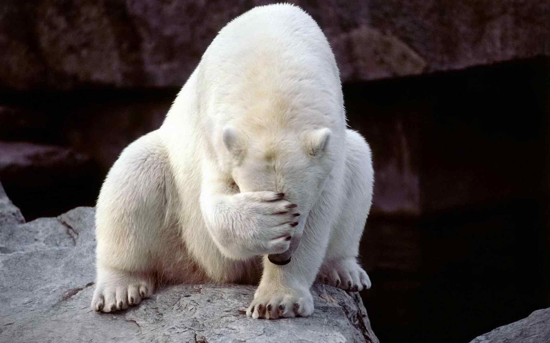 超可爱捂脸北极熊