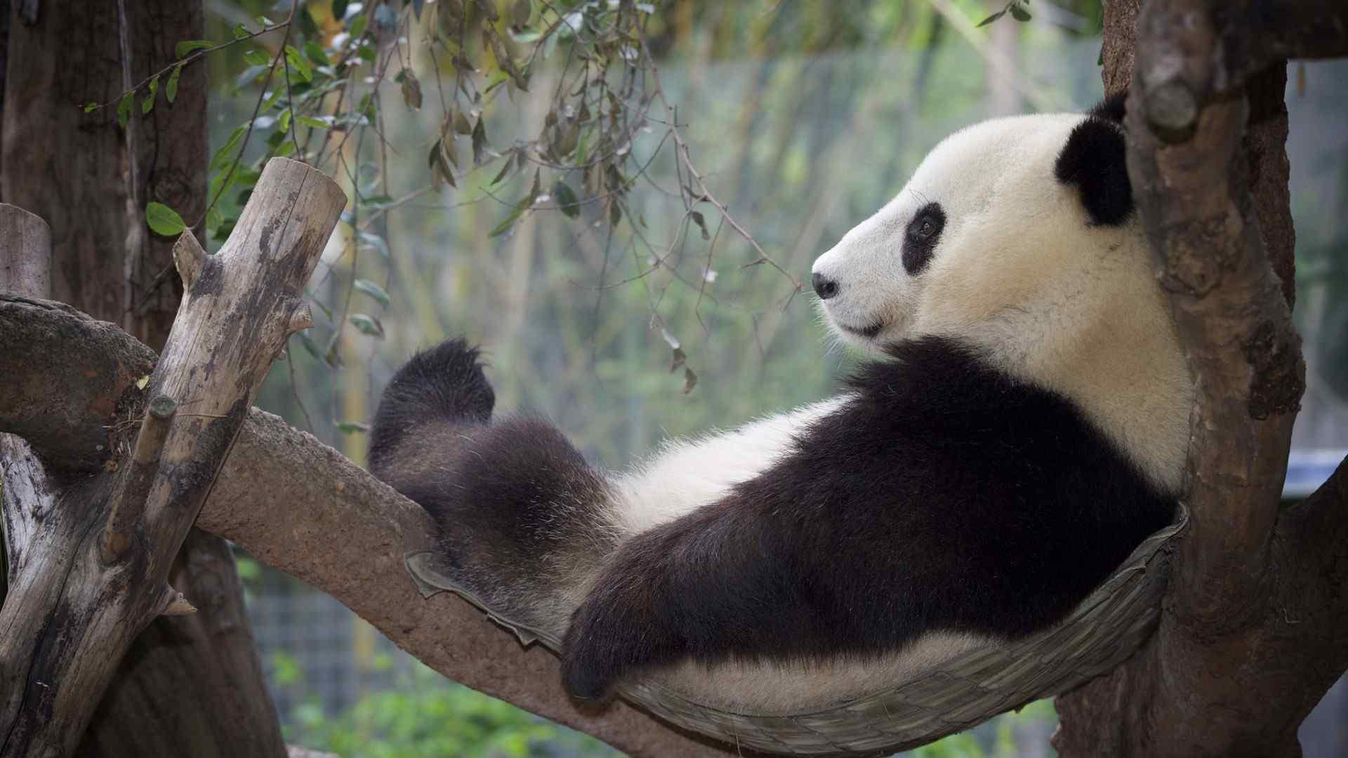 超可爱大熊猫睡觉壁纸