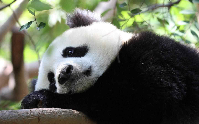 大熊猫装死壁纸