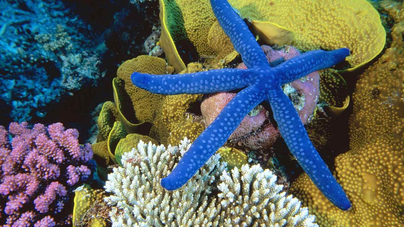 蓝色海星生物壁纸