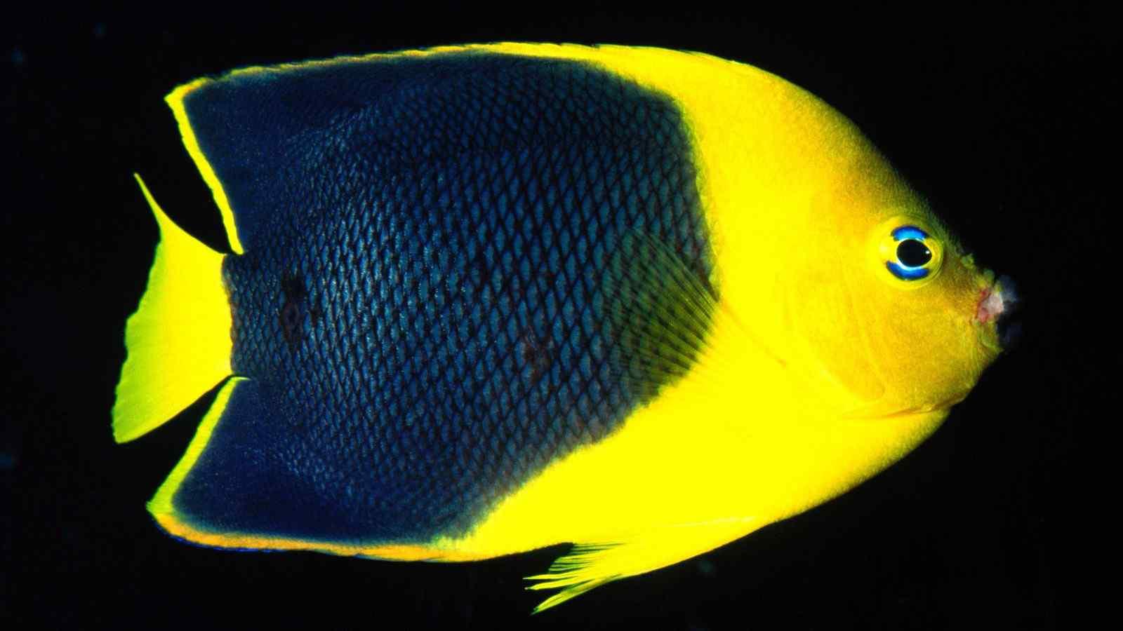 黑黄色漂亮小鱼壁纸