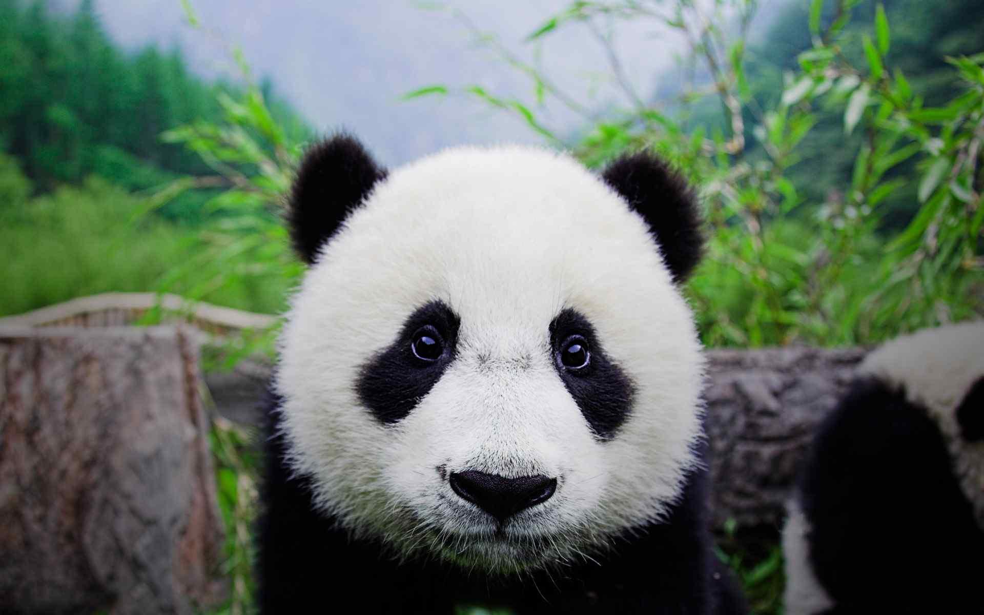 大熊猫卖萌风格壁纸