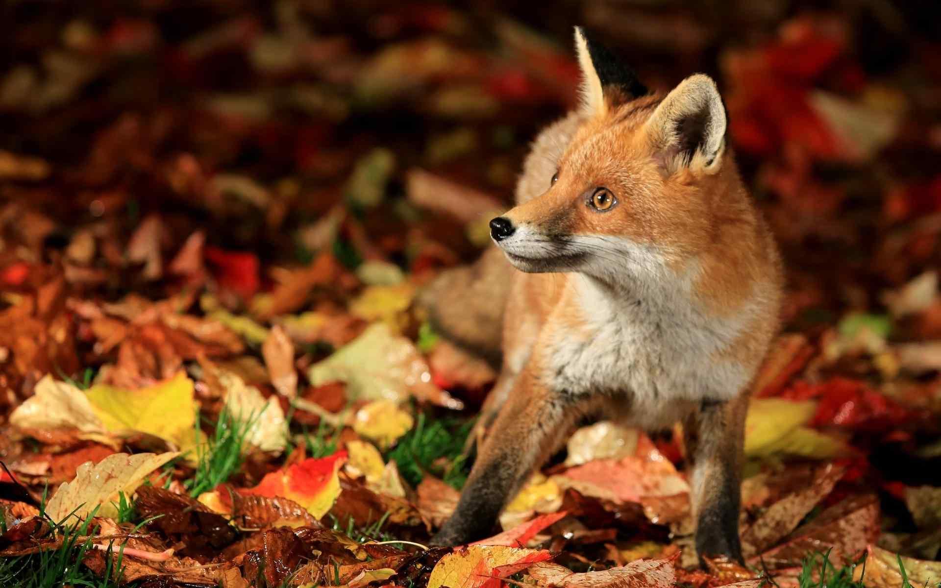 小狐狸呆萌壁纸