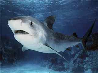 也许很可爱的鲨鱼桌面壁纸