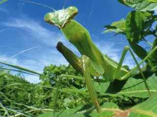 动物昆虫螳螂图片