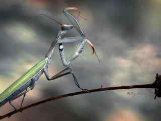 大自然昆虫螳螂高