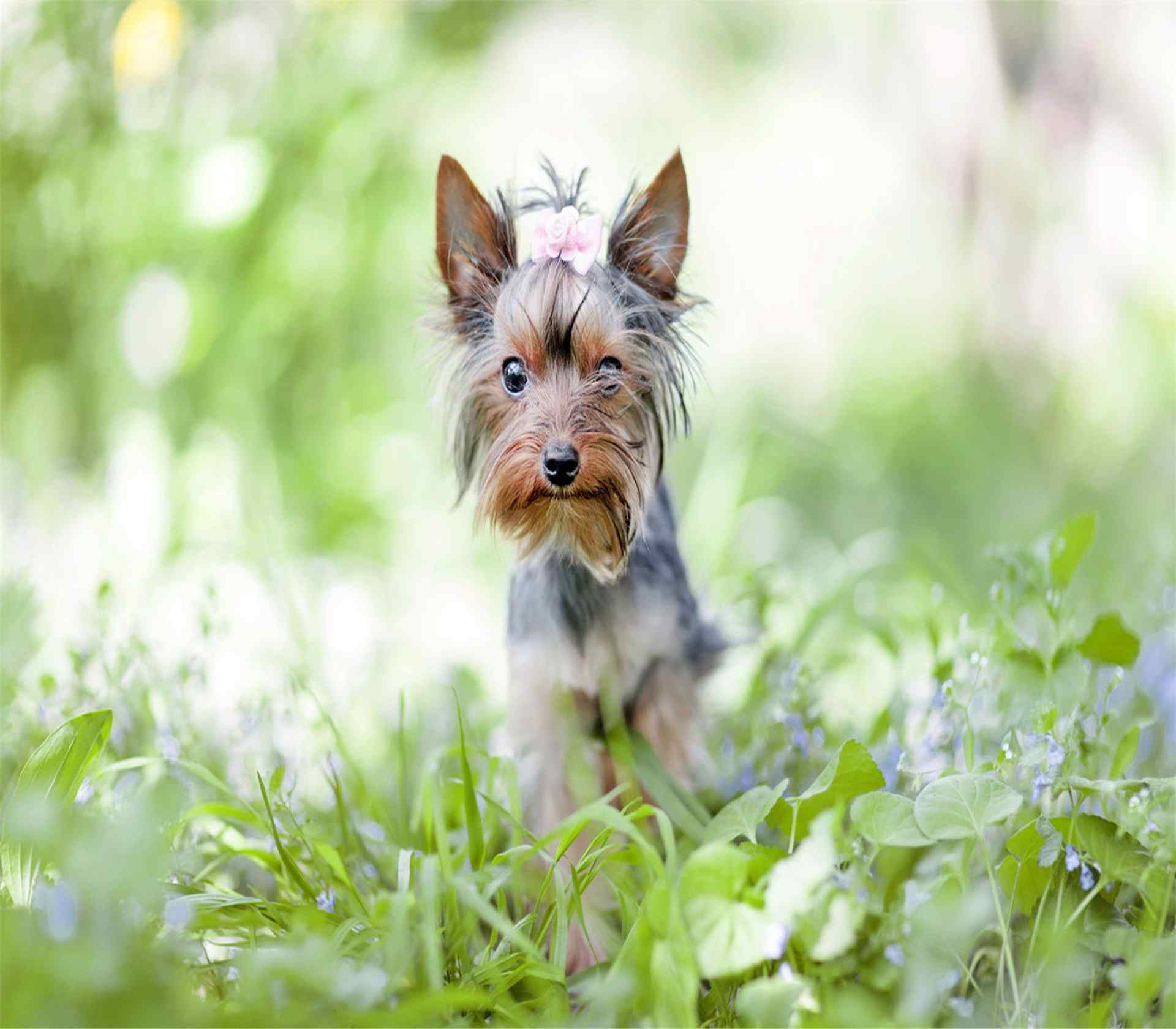 草丛中行走的约克夏犬高清壁纸