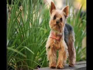 绿草边的黄色约克夏犬桌面壁纸下载