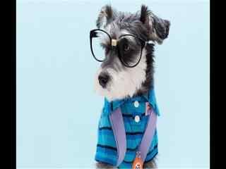 戴眼镜呆萌狗雪纳瑞桌面壁纸