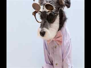 翻盖眼镜绅士雪纳瑞图片下载