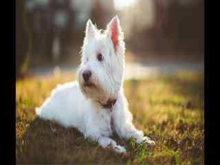 阳光照耀下草地上白毛约克夏犬高清图片