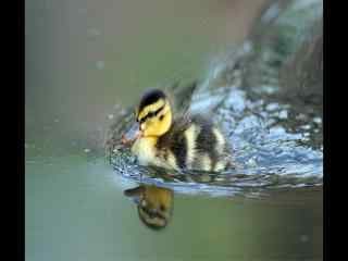 水中嬉戏的小鸭子