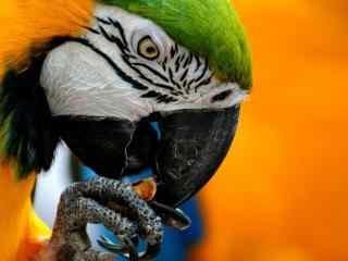 动物鹦鹉图片高清电脑桌面壁纸