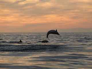 晚霞夕照下鲸鱼跃出水面唯美桌面壁纸