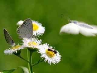 采蜜的小灰蝶图片电脑高清桌面壁纸