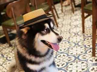 萌萌哒带草帽的阿拉斯加犬桌面壁纸
