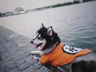 河边可爱的阿拉斯加犬桌面壁纸