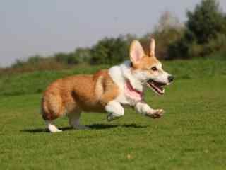 奔跑吧!小柯基