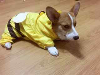 萌萌哒穿雨衣的小柯基桌面壁纸
