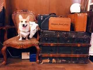 可爱柯基犬复古风桌面壁纸