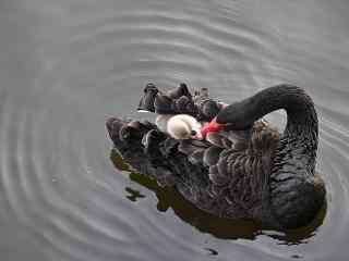 高贵典雅黑天鹅哺育宝宝高清桌面壁纸