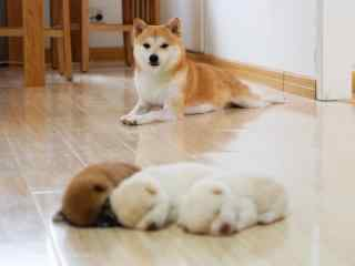温暖的柴犬与三只小奶狗桌面壁纸