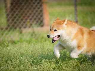 奔跑吧,柴犬桌面壁纸