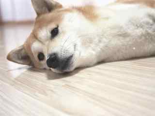 忧郁的柴犬趴地桌面壁纸