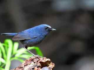 蓝短翅鸫动物图片