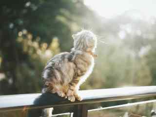 沐浴在阳光中的苏格兰折耳猫桌面壁纸