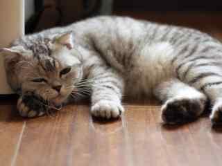眯眯眼的可爱苏格兰折耳猫桌面壁纸