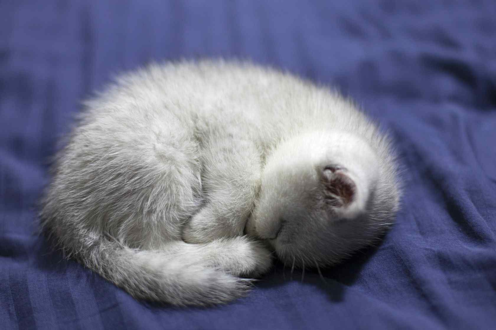 睡成一团的可爱英短小奶猫桌面壁纸