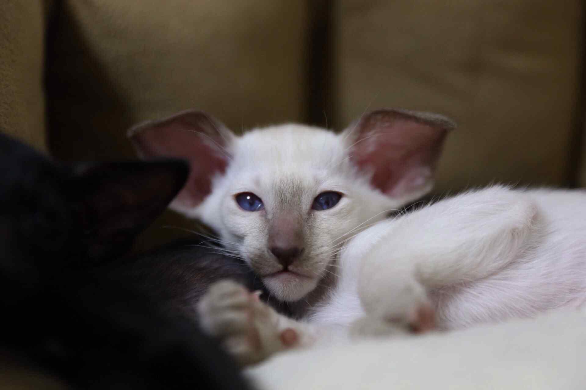 萌萌哒可爱的东方短毛猫桌面壁纸