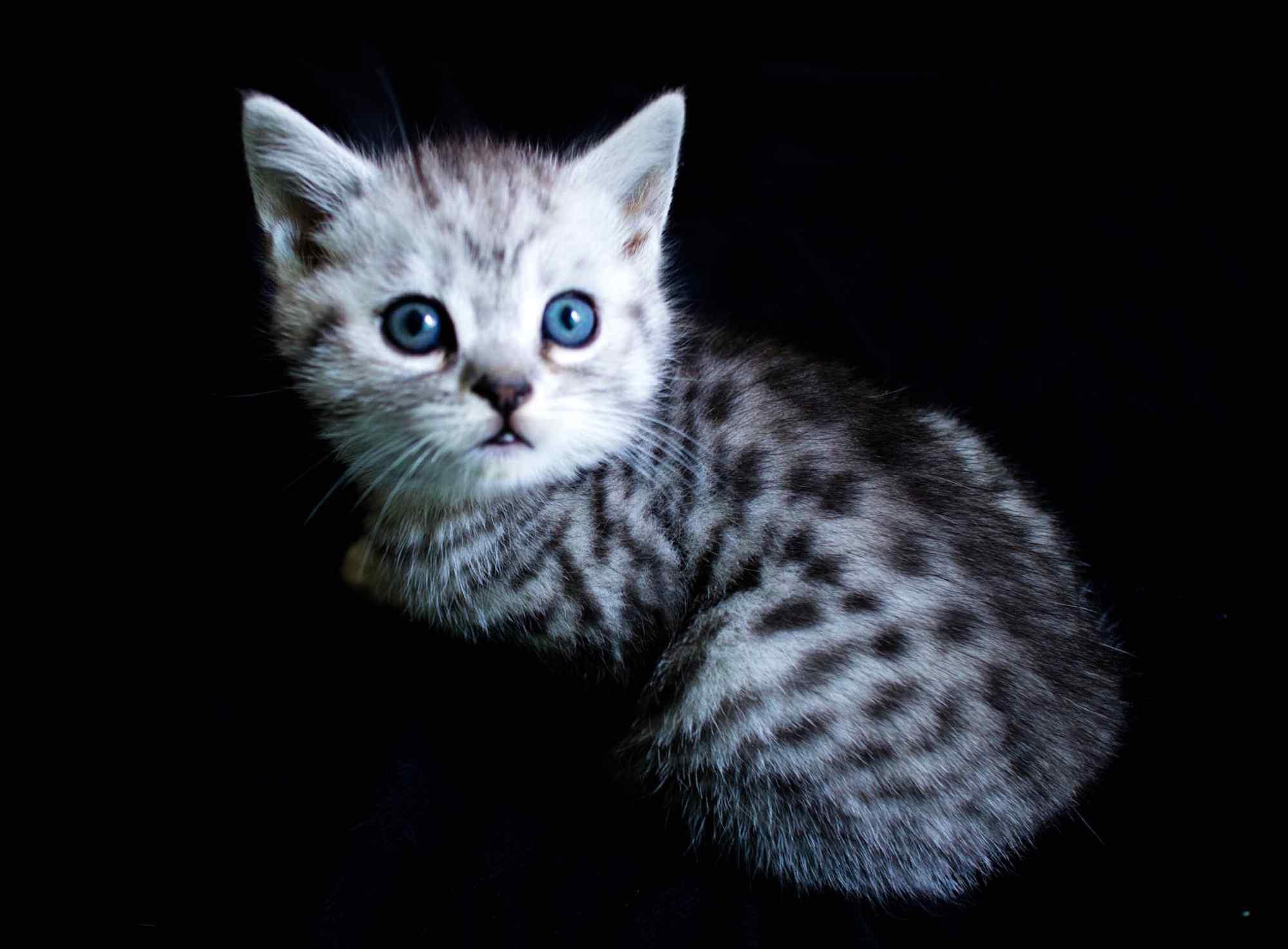 呆萌的美短小猫咪桌面壁纸