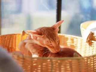 给自己舔毛的东方短毛猫桌面壁纸