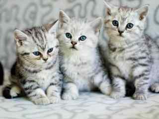 超萌美短小猫崽三兄弟合照桌面壁纸