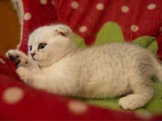 撅着小肚子的可爱英短小奶猫桌面壁纸