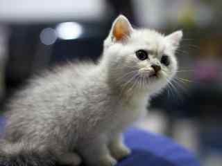 英短小奶猫东张西望可爱脸桌面壁纸