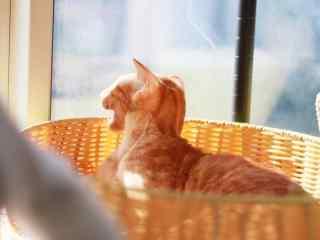 看向窗外的东方短毛猫桌面壁纸