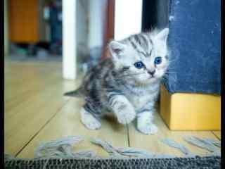 美短可爱小奶猫之抖抖腿桌面壁纸