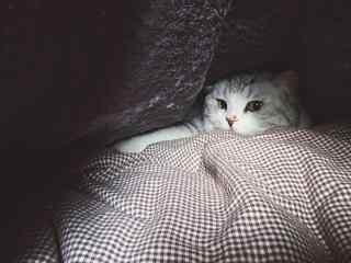 萌萌哒躲在角落里的可爱英短猫咪桌面壁纸
