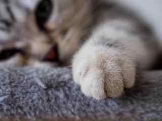 毛茸茸可爱美短小猫爪桌面壁纸
