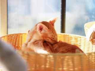 萌萌哒闻闻自己的东方短毛猫桌面壁纸