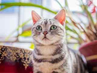 萌萌哒美短之发呆的小猫咪桌面壁纸