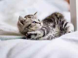 萌萌哒美短小奶猫撅屁股桌面壁纸