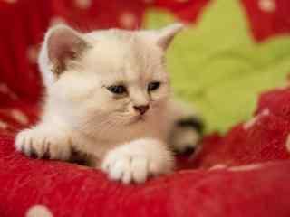 睡眼朦胧的可爱英短小奶猫桌面壁纸
