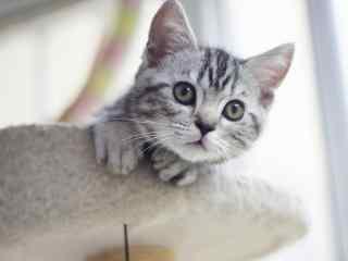可爱美短小猫崽探头照桌面壁纸