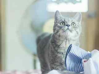 可爱英短猫咪好奇脸桌面壁纸