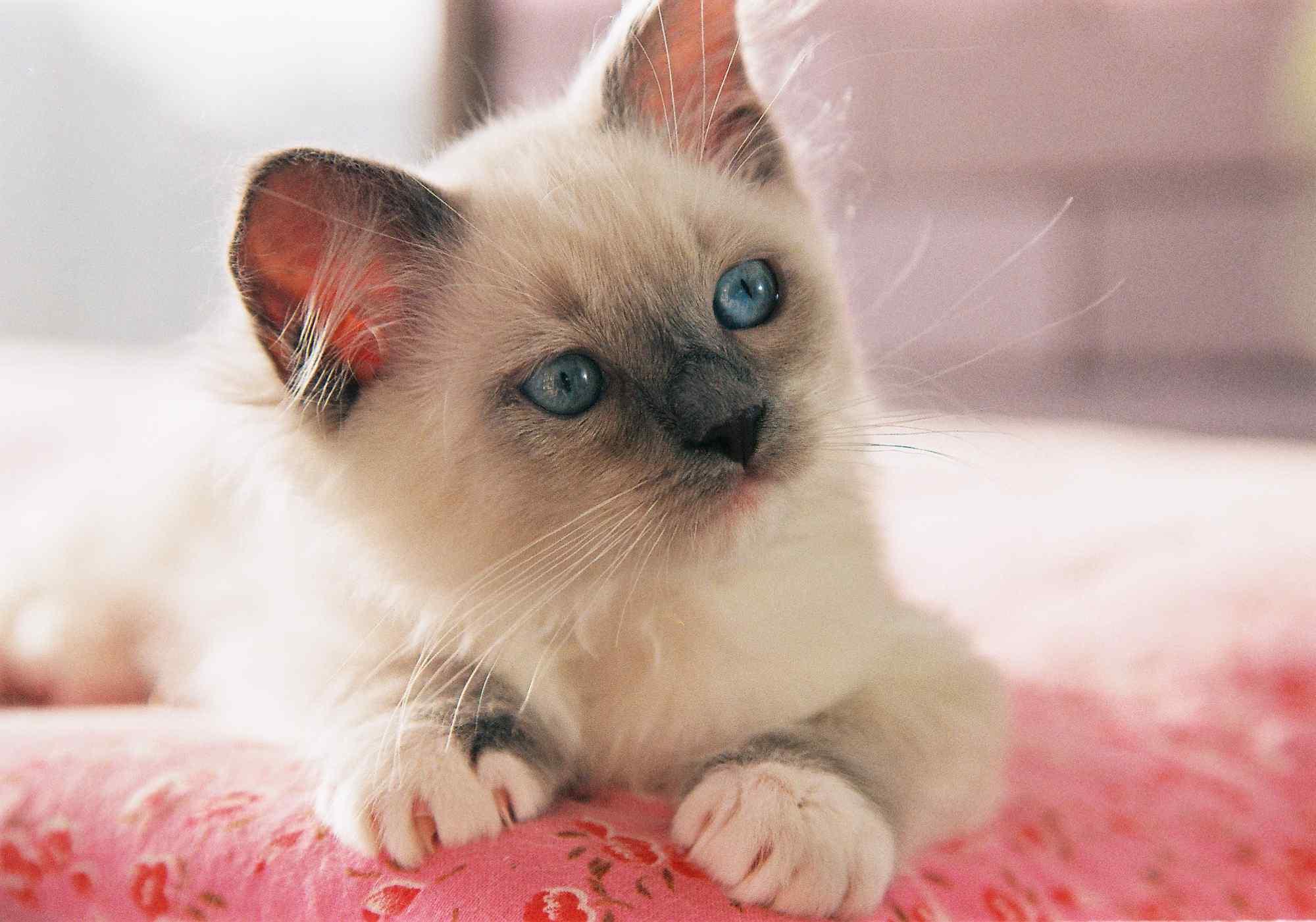 歪头可爱的小布偶猫桌面壁纸